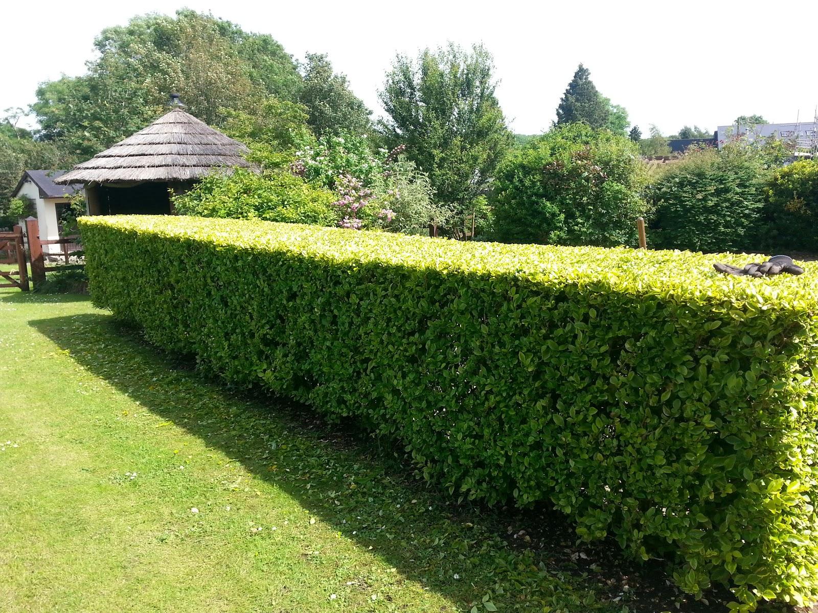 Plants Hedges And Screens Northeast Nursery