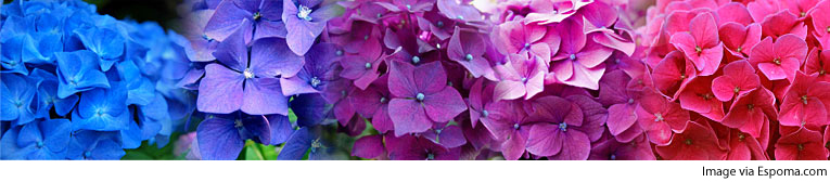 How To Change My Hydrangea Flower Color